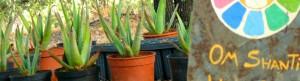 Aloe Vera en Narayana